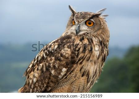 eurasian eagle owl.(Bubo bubo) - stock photo