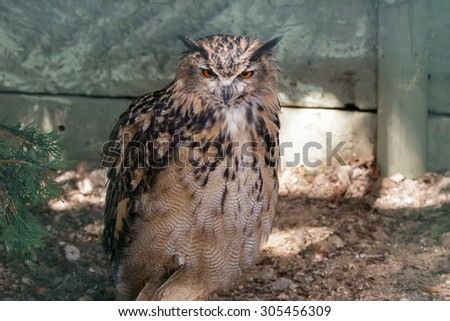 Eurasian Eagle-Owl (Bubo bubo) - stock photo