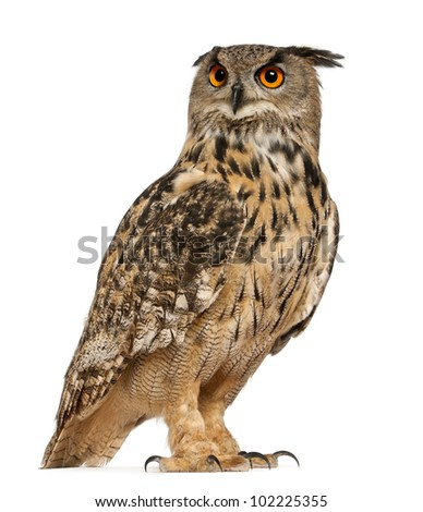 Eurasian Eagle-Owl, Bubo bubo, a species of eagle owl, standing in front of white background - stock photo