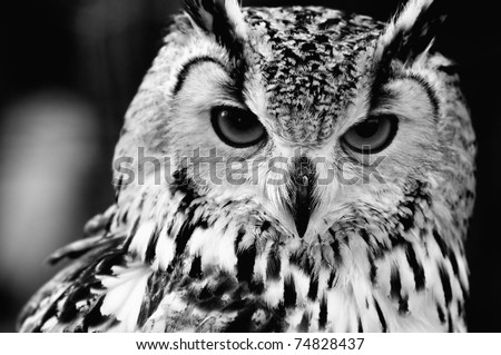 Eurasian Eagle-owl (Bubo bubo). Black and white close up portrait - stock photo