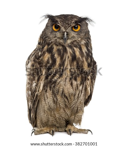 Eurasian eagle-owl (Bubo bubo) in front of a white background  - stock photo