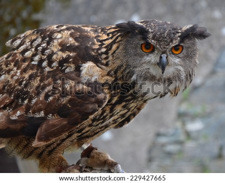Eurasian Eagle Owl (Bubo bubo) in guard position. One of the largest species of owl. - stock photo