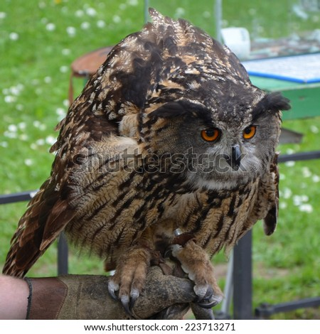 Eurasian Eagle Owl (Bubo bubo) in threat posture. One of the largest species of owl. - stock photo