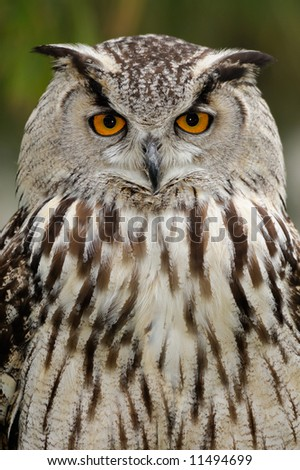 Eurasian eagle owl (Bubo bubo) looks straight at the viewer. - stock photo