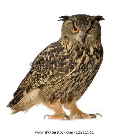Eurasian Eagle Owl - Bubo bubo (22 months) in front of a white background - stock photo