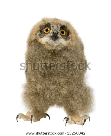 Eurasian Eagle Owl - Bubo bubo (6 weeks) in front of a white background - stock photo