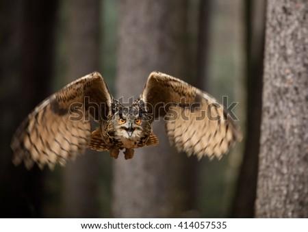 Eurasian Eagle Owl, close-up. - stock photo