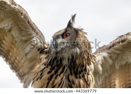 Eurasian eagle-owl. Close-up shot from below with wings spread. - stock photo