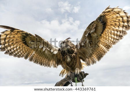 Eurasian eagle-owl displays it's huge wing span. Shot from below on handlers gauntlet.  - stock photo
