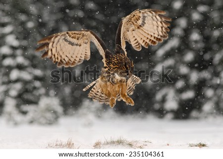 Eurasian Eagle Owl fly hunting during winter surrounded with snowflakes - stock photo