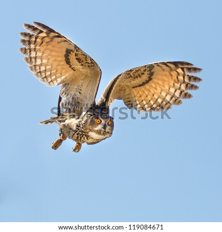 Eurasian Eagle Owl in flight going for prey. Eyes look intense at the target. - stock photo