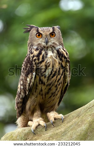 Eurasian Eagle Owl Perched on Thick Tree Branch/Eagle Owl/Eagle Owl (bubo bubo) - stock photo