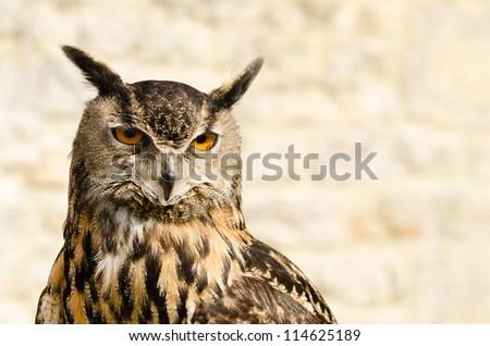 Eurasian Eagle Owl / Portrait of Eurasian Eagle Owl (bubo bubo) also known as the european eagle owl - stock photo