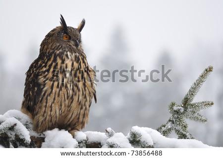 Eurasian Eagle Owl sitting on coniferous tree - stock photo