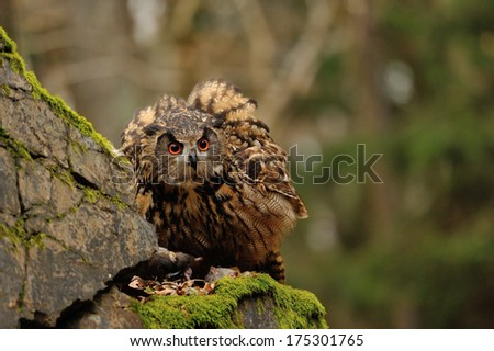 Eurasian Eagle Owl watching his hunt down mouse prey on moss rock - stock photo