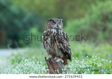 Eurasian great horned owl or Eagle owl (Bubo bubo). - stock photo