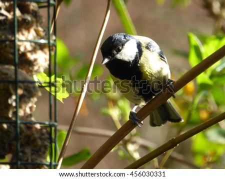 Eurasian Great Tit Male at Fat Ball Feeder in Evening Sun - Parus major - stock photo