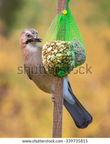 Eurasian jay. A beautiful very watchful medium sized bird, eating nuts in the garden
