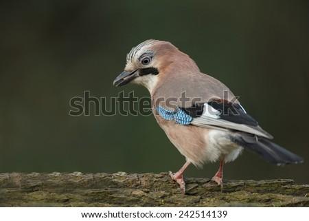 Eurasian jay bird - stock photo