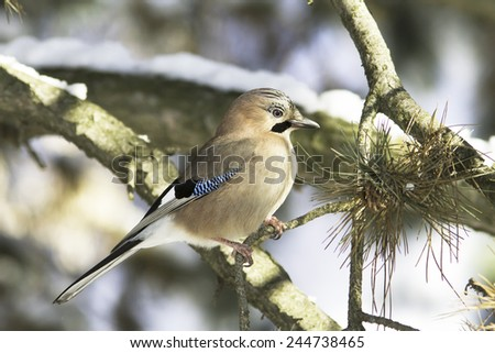 Eurasian Jay bird on branch / Garrulus glandarius - stock photo