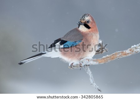 Eurasian jay on a perch in winter, Norway.
