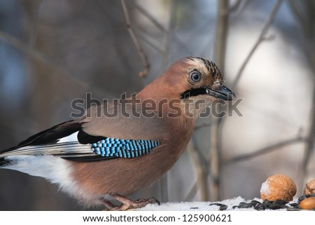 Eurasian Jay on bird feeder - stock photo
