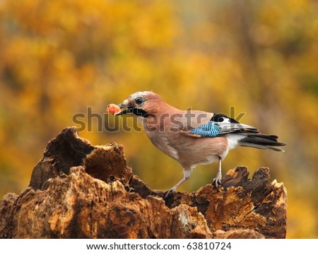 Eurasian jay  with a little meat