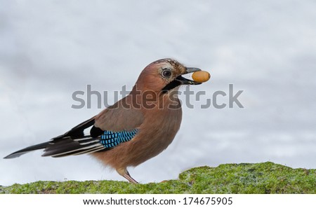 Eurasian Jay with acorn - stock photo