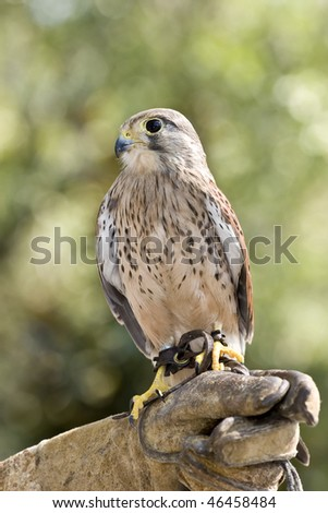 eurasian kestrel perched on glove