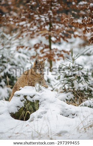 Eurasian lynx cub lying in winter colorful forest with snow. Orange trees in background. Freeze cold season. - stock photo