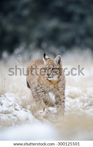 Eurasian lynx cub on snowy ground with green forest in background. Cold winter season. Freezy weather. - stock photo