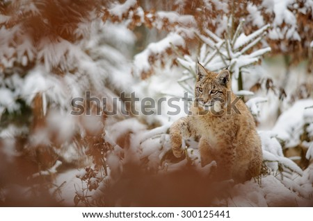 Eurasian lynx cub shaking down snow from his paw in winter forest. Orange trees in background. Freeze cold season. - stock photo