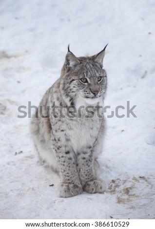 Eurasian lynx cub sitting on snowy ground.Norway. - stock photo