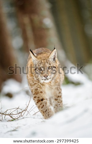 Eurasian lynx cub walking on snow in forest. Freeze cold season. - stock photo