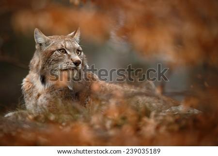Eurasian Lynx hidden in orange oak branch duriing autumn - stock photo