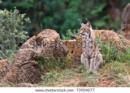 Eurasian lynx in a wild life park - stock photo