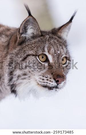 Eurasian Lynx in snow - stock photo