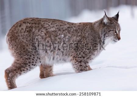 Eurasian Lynx in snow winter landscape - stock photo