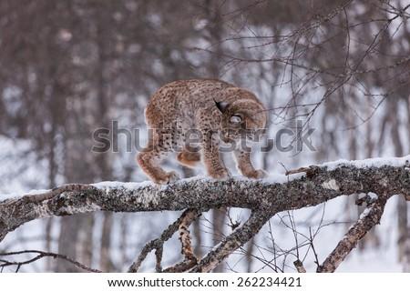 Eurasian Lynx in the snow climbing tree - stock photo