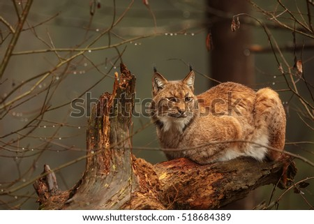 Eurasian Lynx is sitting on the old trunk and resting