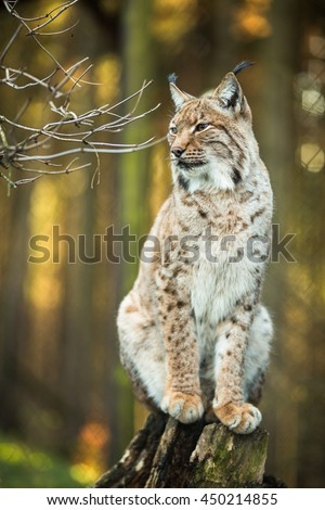 Eurasian Lynx (Lynx lynx) - stock photo