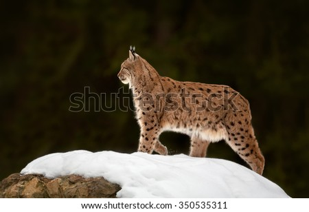Eurasian Lynx Lynx lynx in winter posing on snowy rock. Dark green blurry background. - stock photo