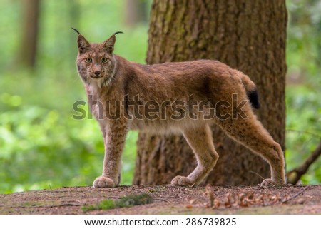 Eurasian lynx (Lynx lynx) is a medium-sized cat native to European and Siberian forests - stock photo