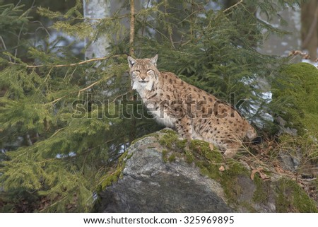 Eurasian Lynx (Lynx lynx) sitting on a rock covered with moss - stock photo