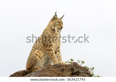 Eurasian lynx (Lynx lynx), sitting on top of a rock at sunset, Cabarceno Natural Park, Cantabria, Spain - stock photo