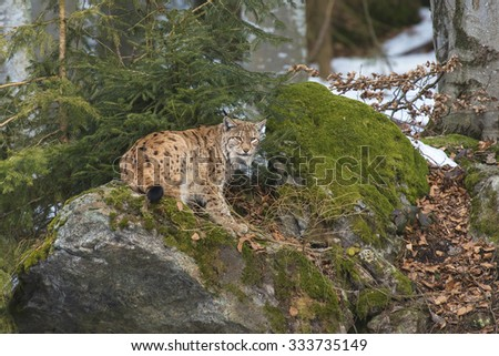 Eurasian Lynx (Lynx lynx) standing on a rock in a forest