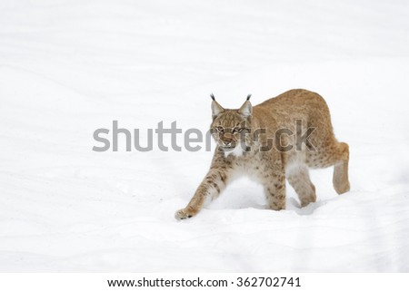Eurasian Lynx (Lynx lynx) walking in snow, Germany - stock photo