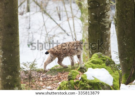 Eurasian Lynx (Lynx lynx) walking on a rock in a forest - stock photo