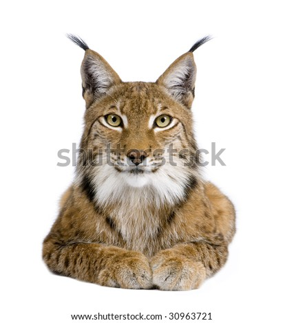 Eurasian Lynx - Lynx lynx (5 years old) in front of a white background