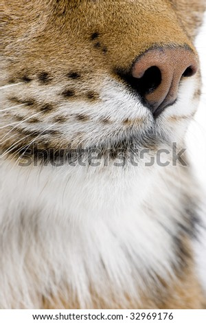 Eurasian Lynx - Lynx lynx (5 years old) in front of a white background - stock photo